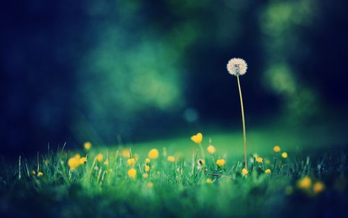 Single Dandelion Desktop Wallpaper