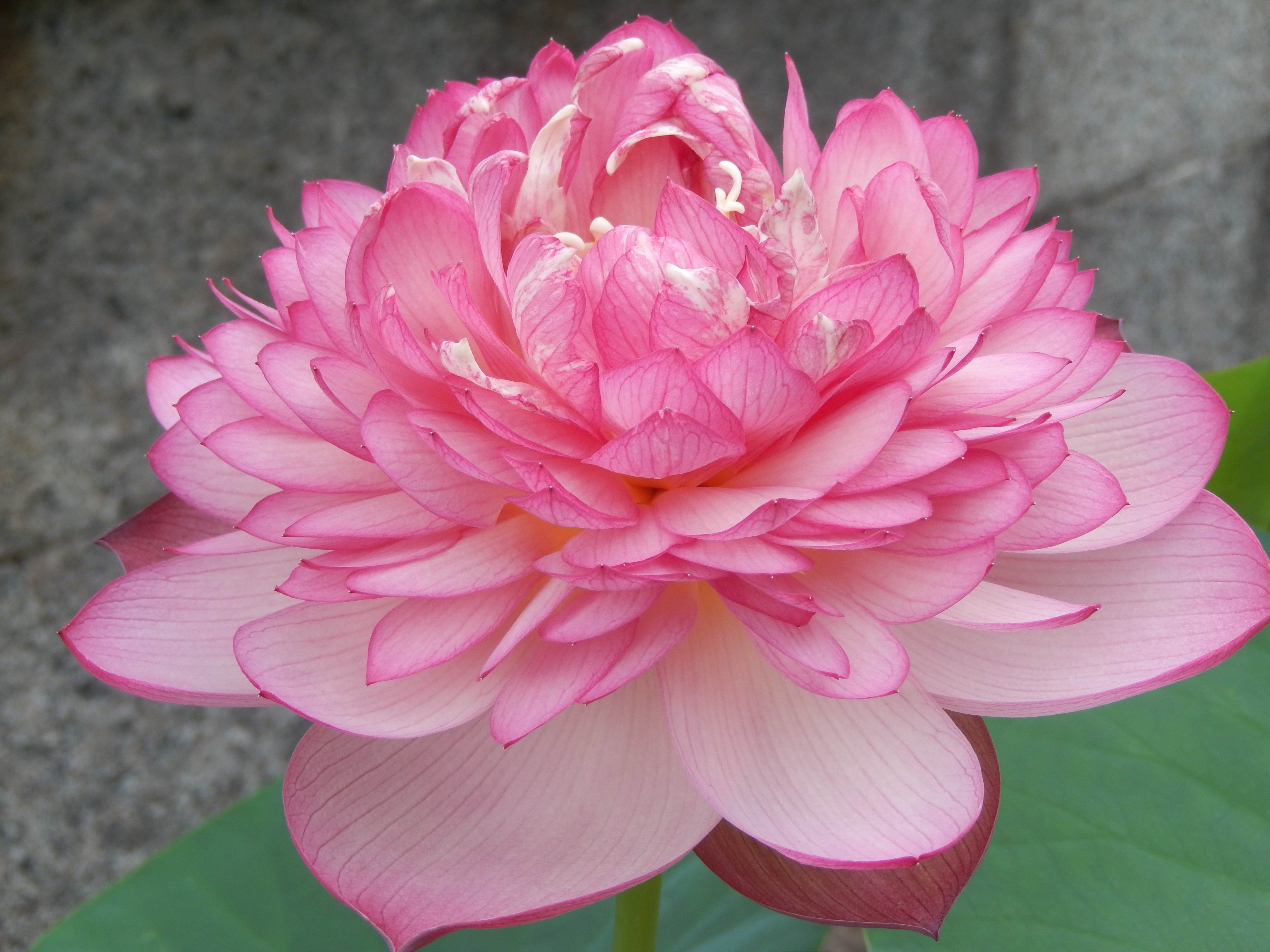 N super excellent lotus is an extremely double lotus it is very n super excellent lotus is an extremely double lotus it is very excellent bloomer izmirmasajfo