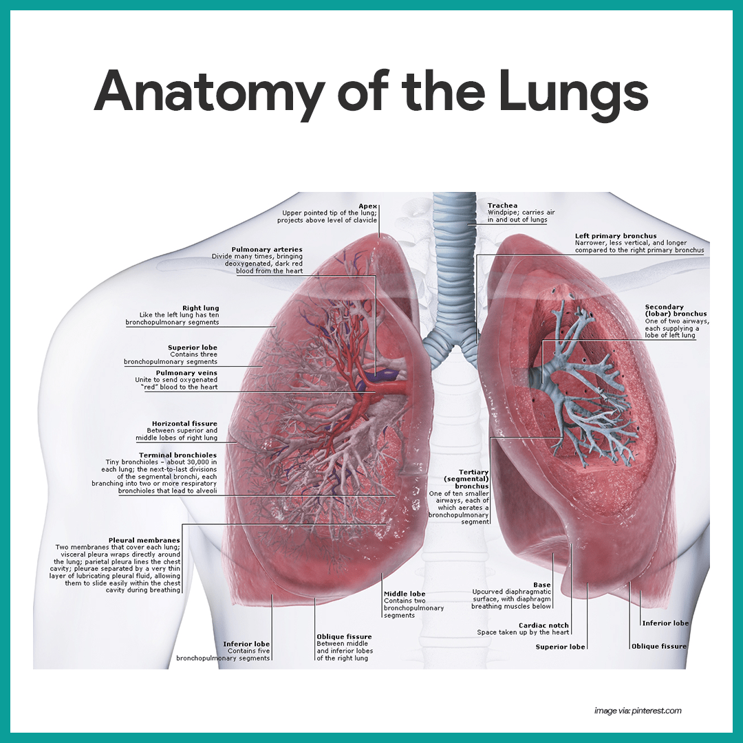 Respiratory System Anatomy and Physiology | Nursing | Pinterest ...