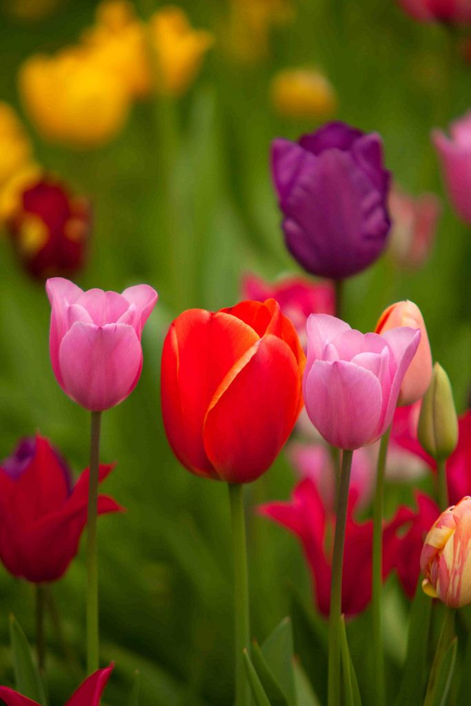 Spring Colours Aylesford Flowers Tulips Flowers Beautiful Flowers
