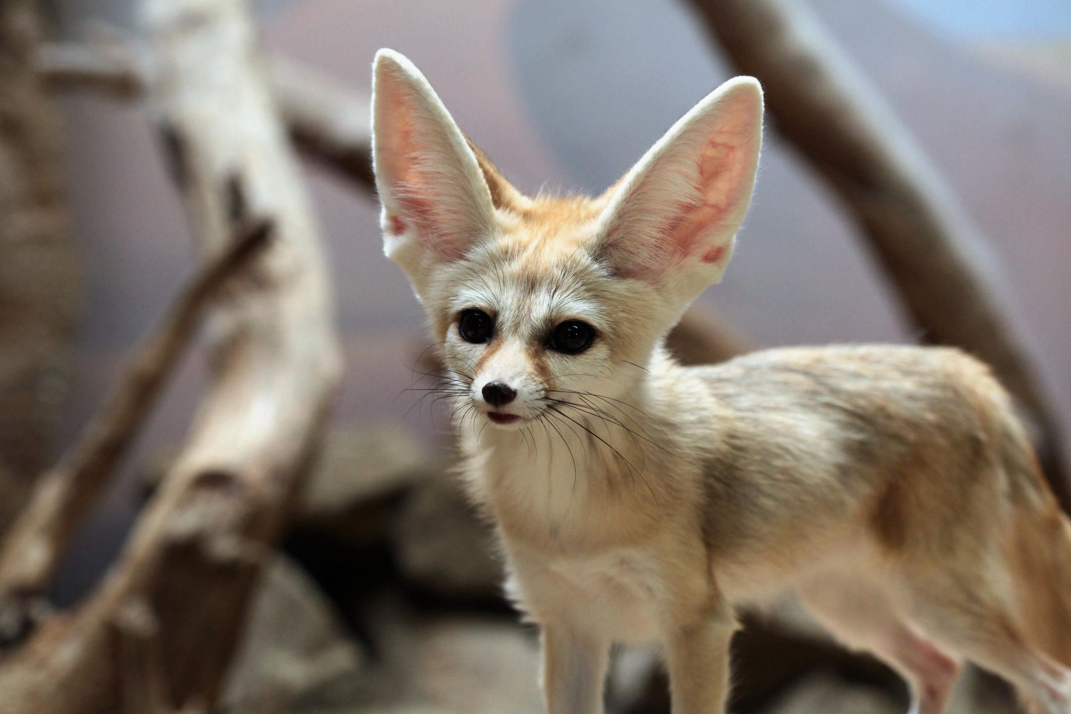 20 Amazing Animal Adaptations For Living In The Desert Animal Adaptations Desert Animals Adaptations Desert Animals