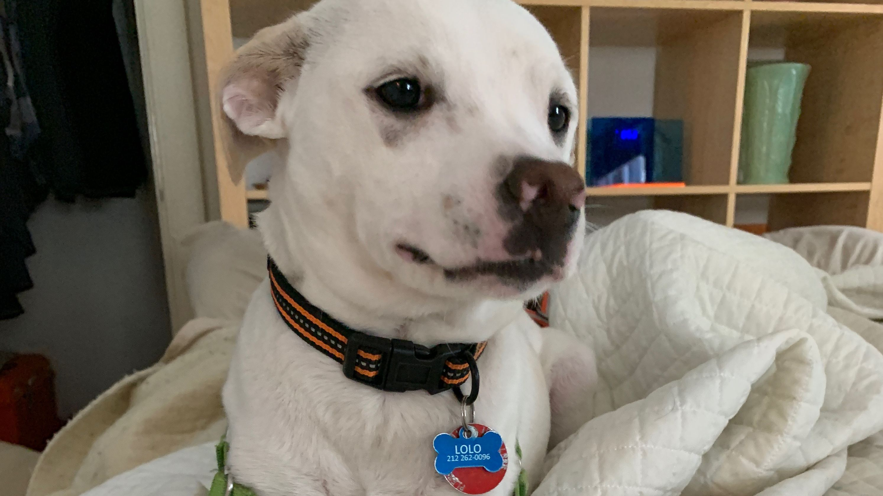 Missing Dog Lolo Flees Through Lincoln Tunnel Last Seen In New Jersey Dog Insurance Dogs Pet Care