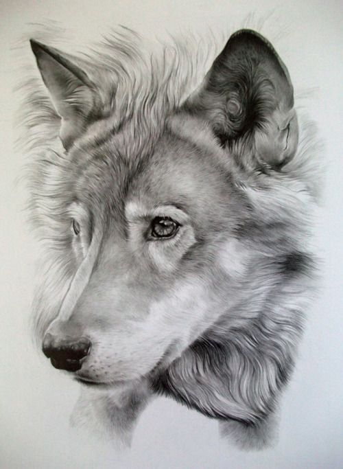 Lobo a lápiz