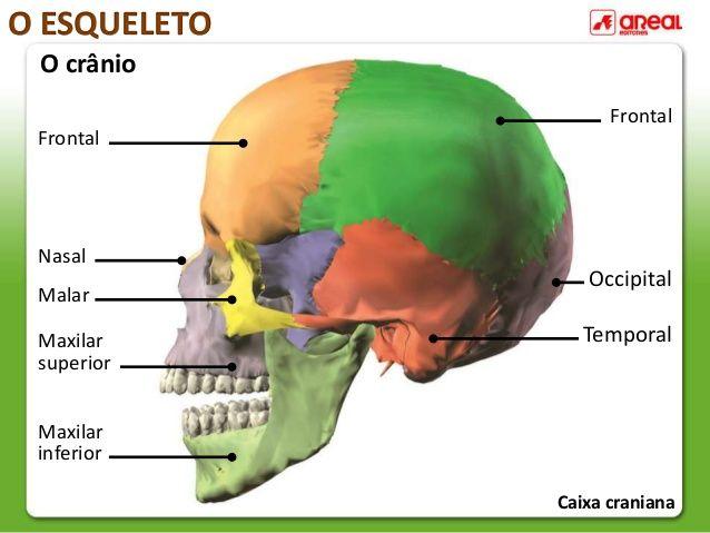 O Esqueleto O Crânio Frontal Nasal Malar Maxilar Superior Maxilar Inferior Frontal Occipital Temporal Caixa Craniana O Esqueleto Esqueleto Escola