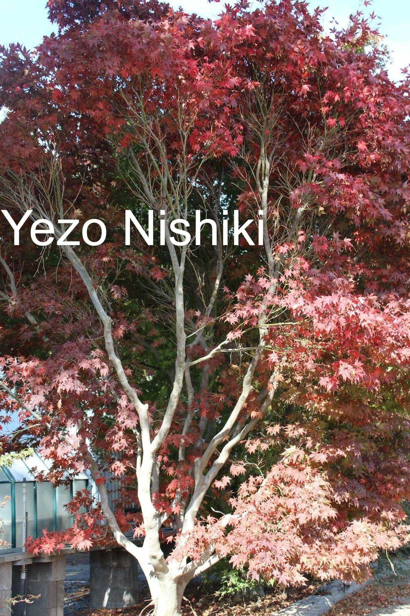 Japanese Maple YEZO NISHIKI