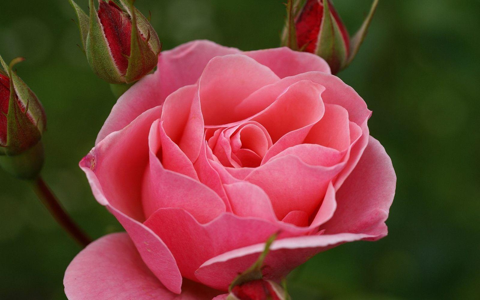 TERCER RAYO DE DIOS! Es la Llama Rosa del Amor, Adoración ...