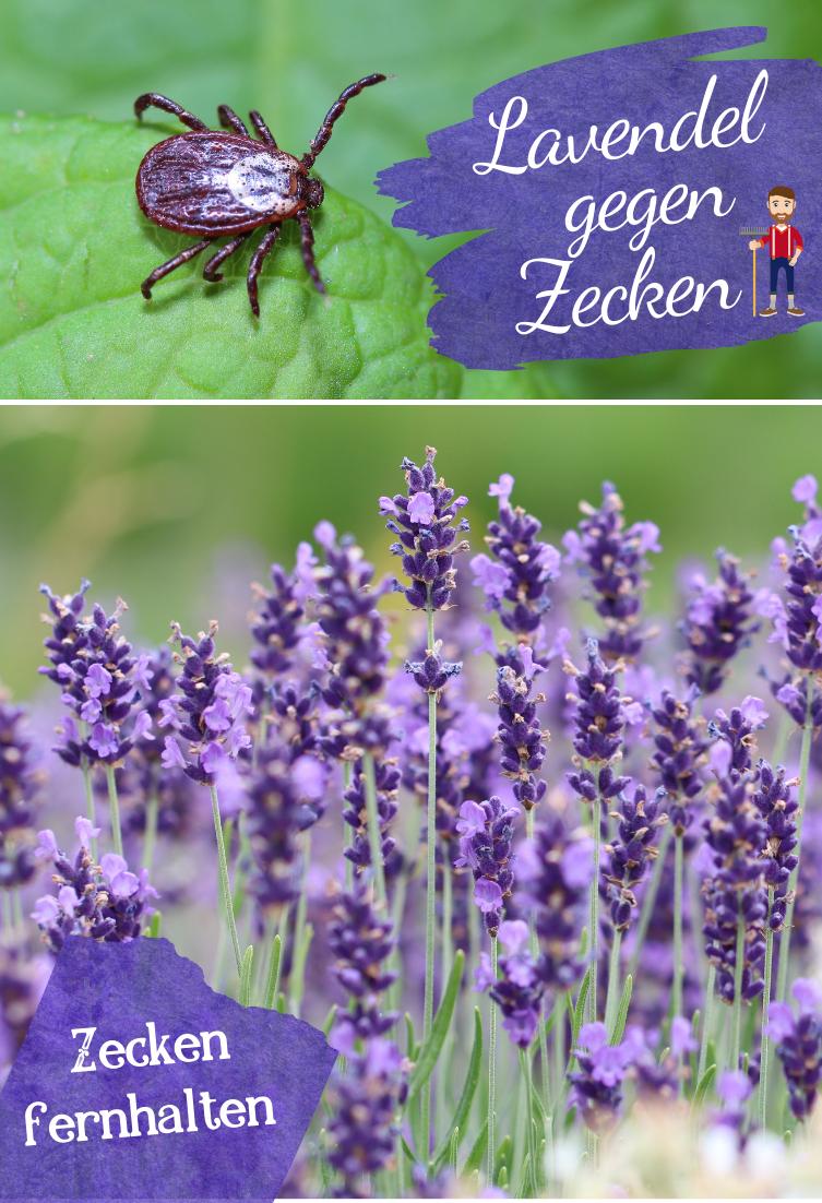 Lavendel Gegen Zecken Nutzen Lavendel Garten Lavendel Zecken