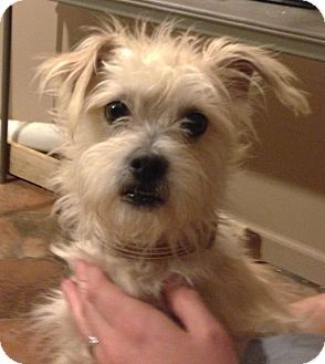 Poodle Miniature Cairn Terrier Mix Lenny Adopted Pitbull