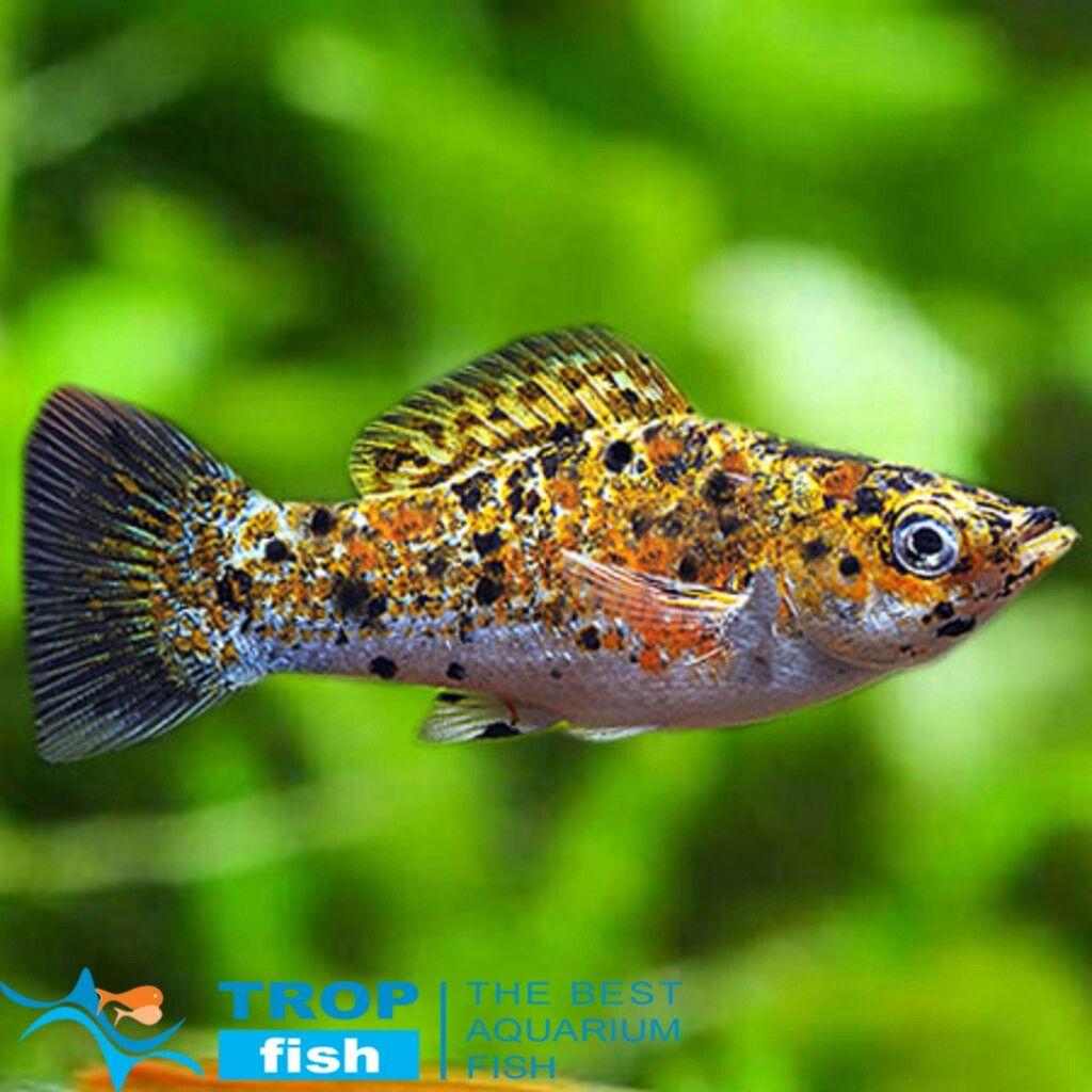 Calico Platy | Fishies | Pinterest