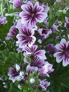 Zebra Mallow Malva Sylvestris Cousins To Hollyhocks Are Short Lived Perennials That Bloom All Summer Long And Self Seed Zones Flower Beds Gardens