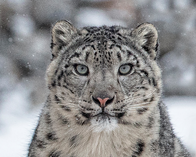 Photography Of Snow Leopards In Mongolia S Wild West Snow Leopard Snow Leopard Habitat Snow Leopard Names