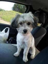 Adopt Tito On Havanese Dogs Dogs Dog Cat