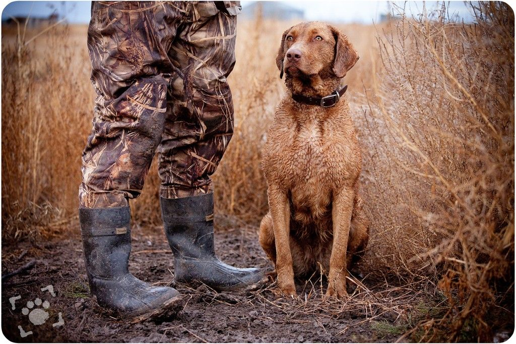Alice :: Chesapeake Bay Retriever