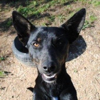 Dobby Kelpie Mutts Dobby Rescue Dogs Dog Pin