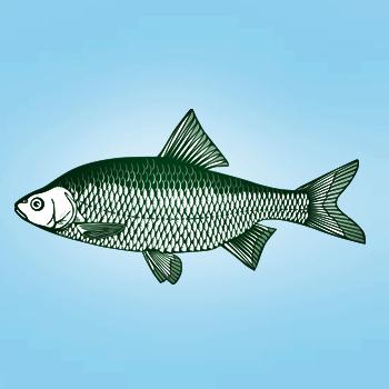 Rotauge fisch