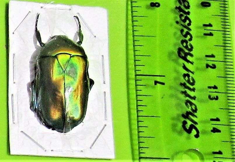 Ixorida celebensis FAST FROM US Lot of 5 Flower Beetle Oncosterna