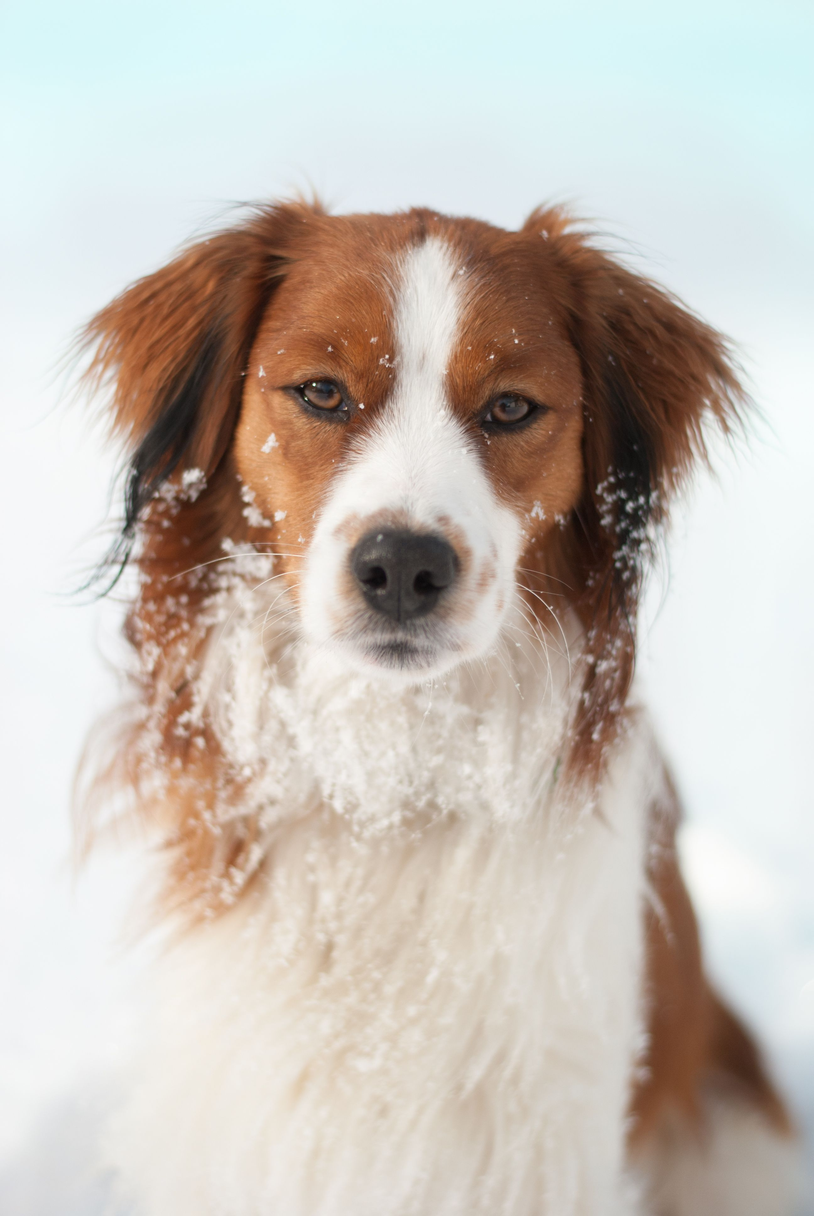 Kooikerhondje Campino 11 Months Old Hunderassen Hunde Kooikerhondje Welpen