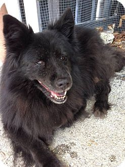Pictures Of Dorie A Schipperke Chow Chow Mix For Adoption In Ocean