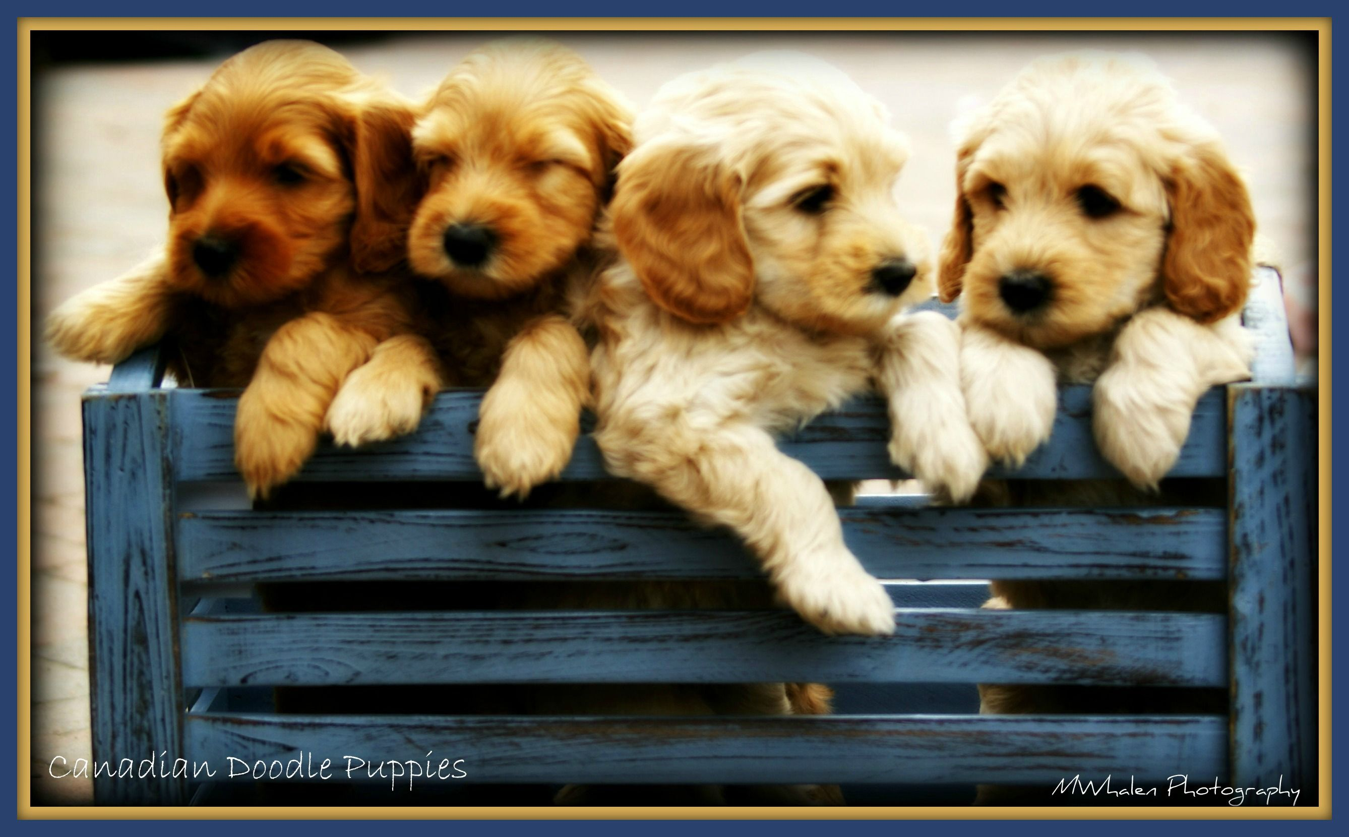 Canadian Doodle Puppies Ontario Breeder Of Labradoodles