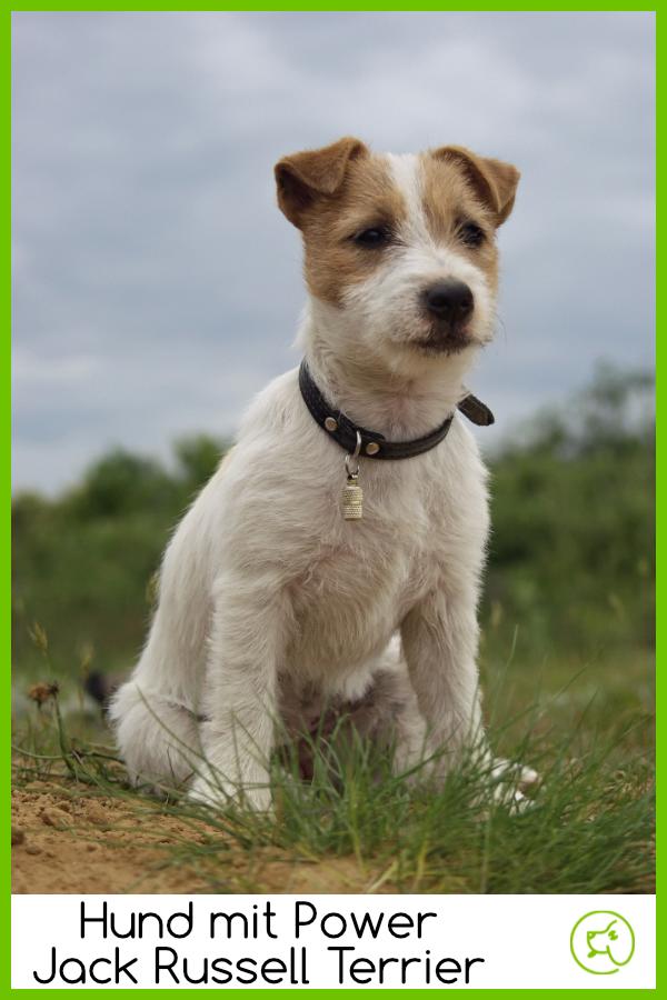 Photo of Jack Russell Terrier: ¡confiado con alta resistencia! – dogeridoo
