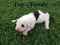 American Bulldog Pups 4 Sale Puppies For Sale Quirindi New South