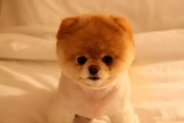 Teddy Bear Pomeranian Puppies For Sale Cute Puppies With Images