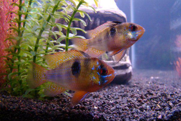 Mikrogeophagus Ramirezi Or German Blue Ram Cichlid Cichlids Fish Pet Breeds
