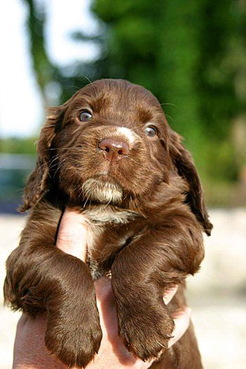 cocker spaniel!!! steallll take care of your puppy...http://puppycaremagazine.com - that look =) hahaha