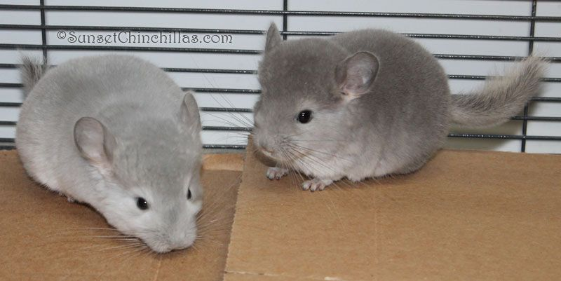 Chinchilla Colors Guide Blue Diamond And Violet Sc Baby
