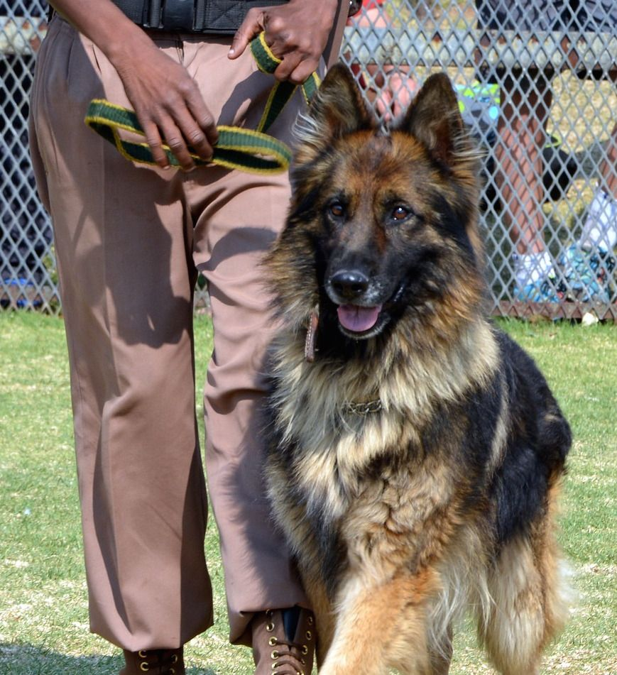 List Of Basic And Advanced Dog Commands For German Shepherds Dog