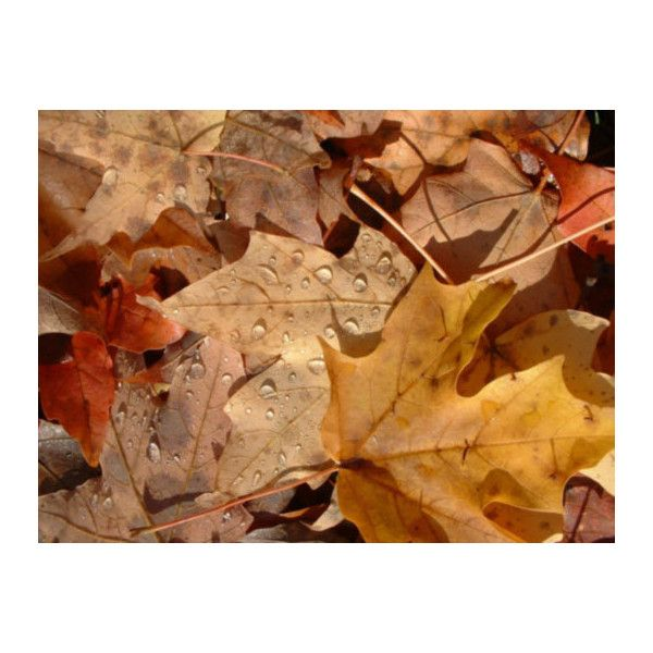 Autumn Leaves Pictures, Photos, Pics, Picture, Photo, Autumn Leaves's... ❤ liked on Polyvore featuring autumn, backgrounds, photos, pictures, fall and fillers