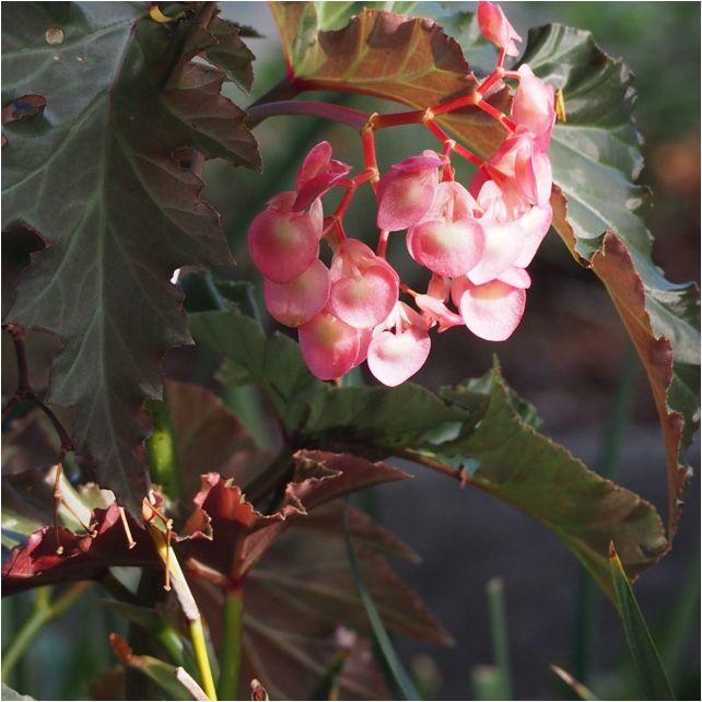 Begonia begonia begonia is a genus of perennial flowering plants begonia begonia begonia is a genus of perennial flowering plants in the family mightylinksfo