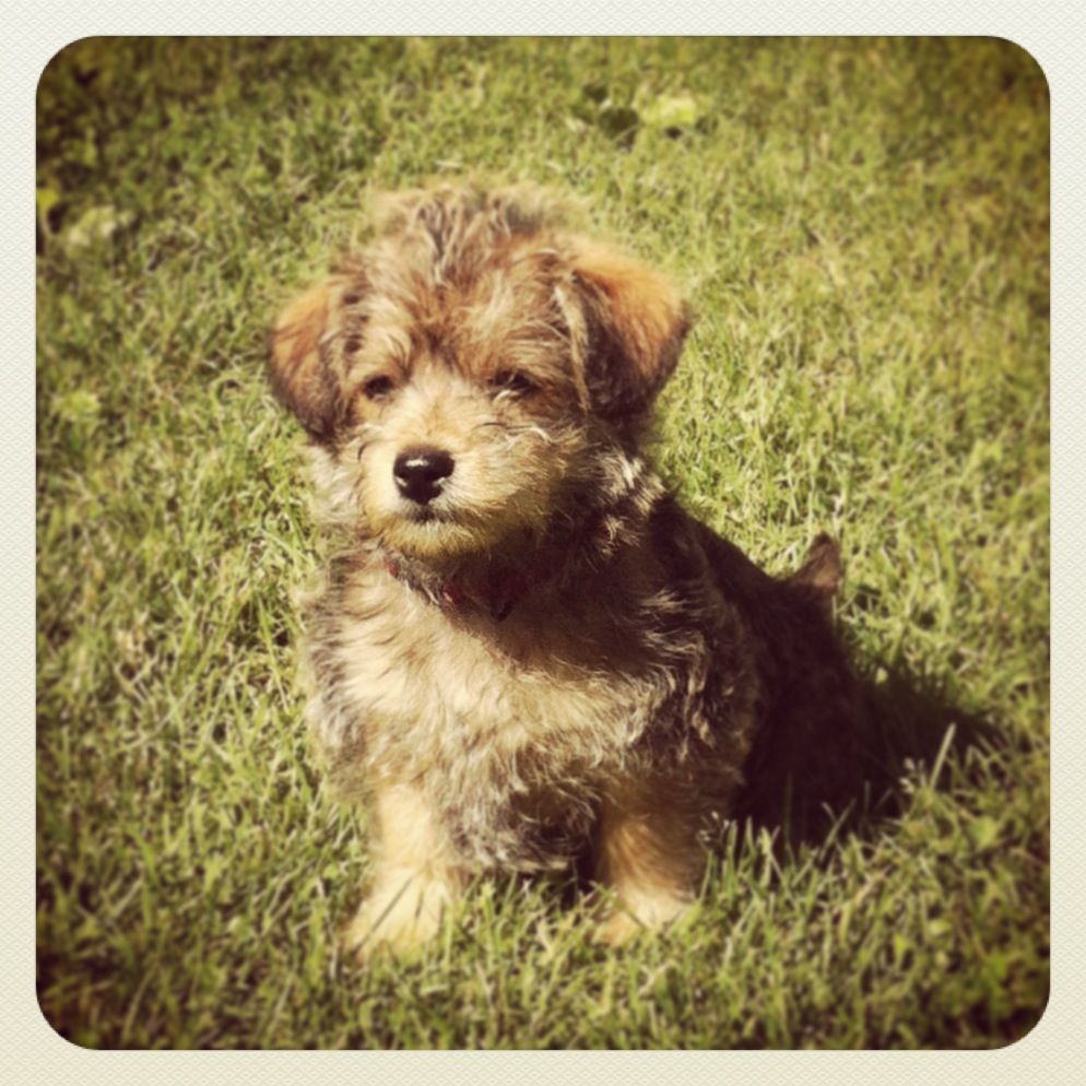 Cairn Terrier With Toy Poodle Midas Is His Name And He Is The