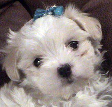 Maltipoo Dogs Cute Maltipoo Dog Puppies Kitties Maltipoo