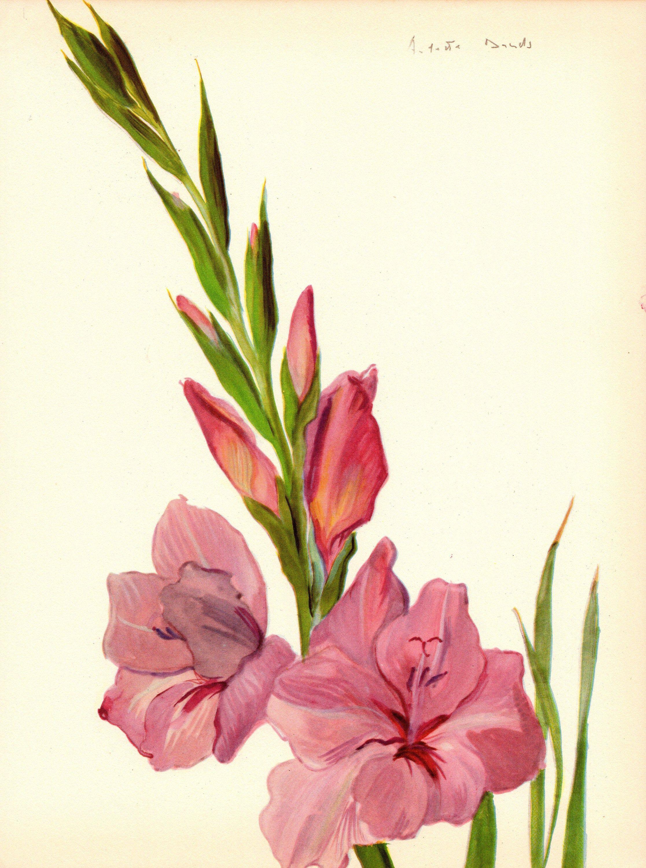 1948 Antique Arlette Davids Botanical Art Print Pink Gladiola Flower Gallery Wall Art Pink Bedroom Decor Wedding Flower Drawing Gladiolus Tattoo Botanical Art