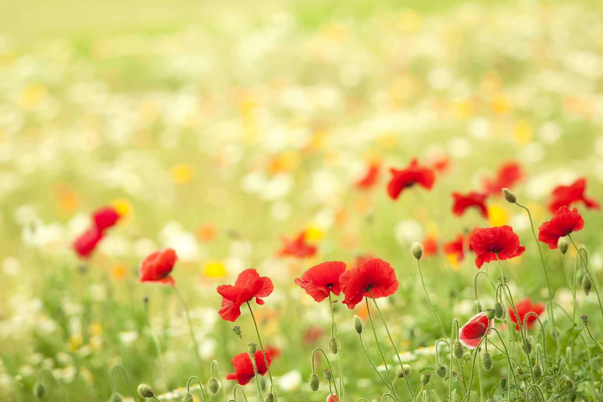 Poppies Bokeh Meadow Summer Nature Flowers