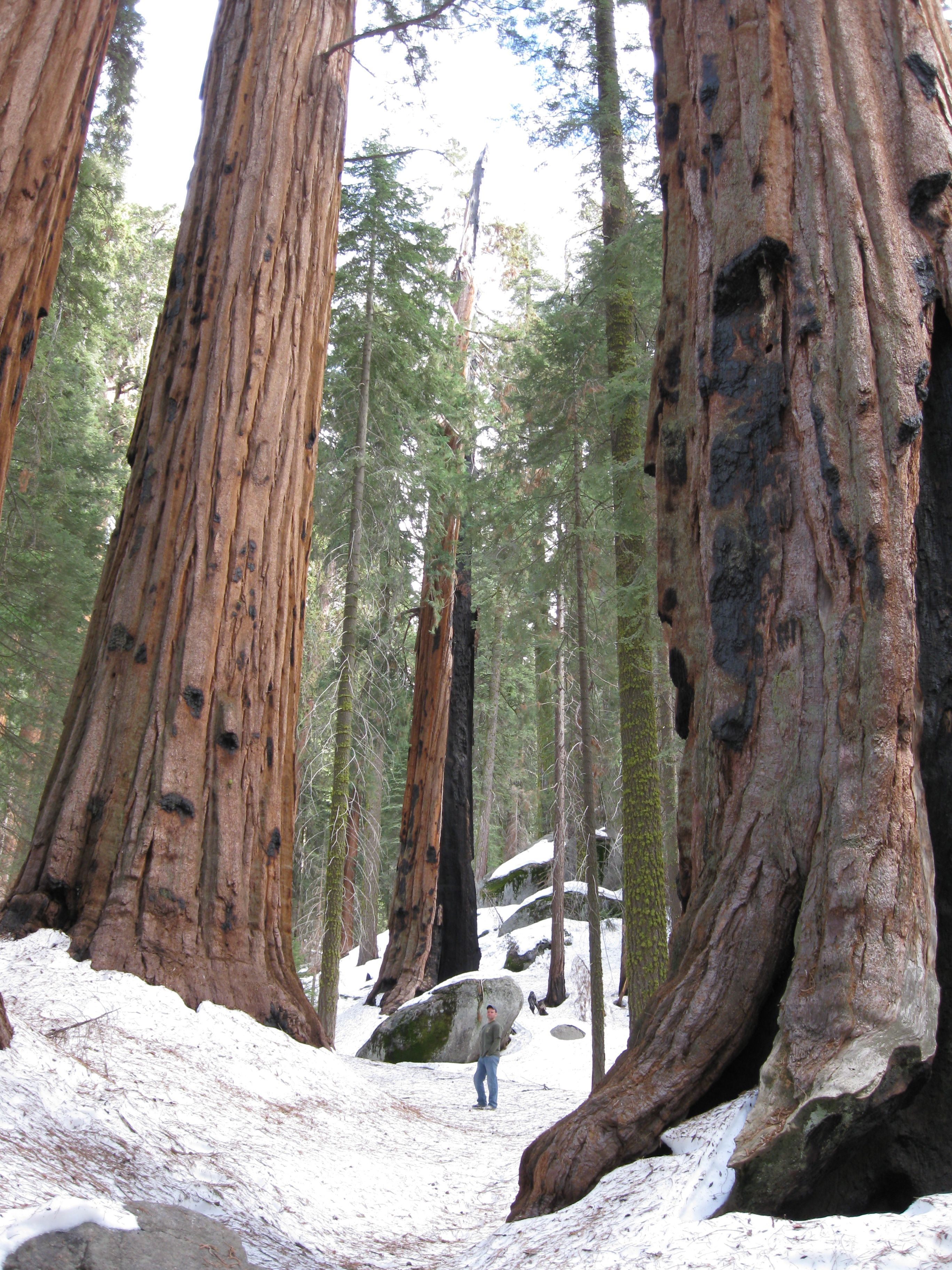 drive trees pioneer calaveras at s news cabin views mourn crew in tree national cabins california the thru famous state television death fallen park californias of forest fans a big sequoia