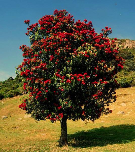 Pohutukawa In Full Bloom In Summer   The Kiwi Christmas Tree