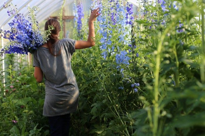 Blue Delphiniums growing in a polytunnel  Find out how to grow Delphiniums at: http://www.sarahraven.com/shop/delphinium-best-blues.html