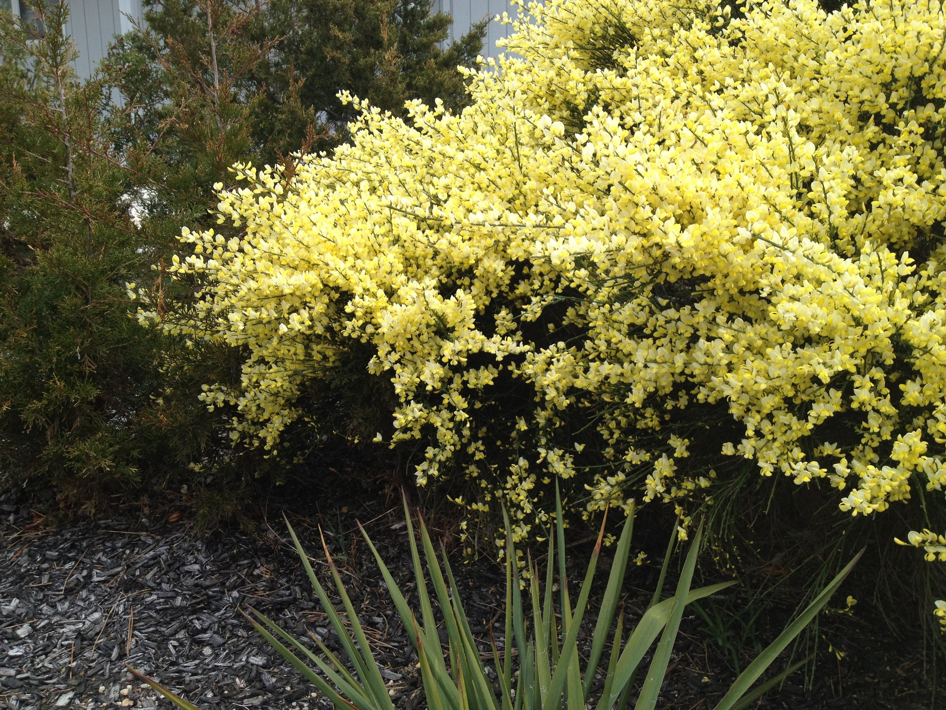 scotch broom in bloom give it a good haircut early spring every rh pinterest com