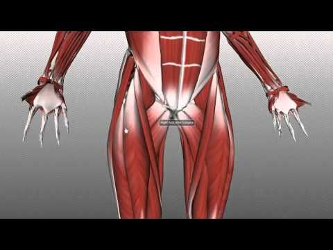 Muscles of the Thigh Part 1 - Anterior Compartment - Anatomy ...