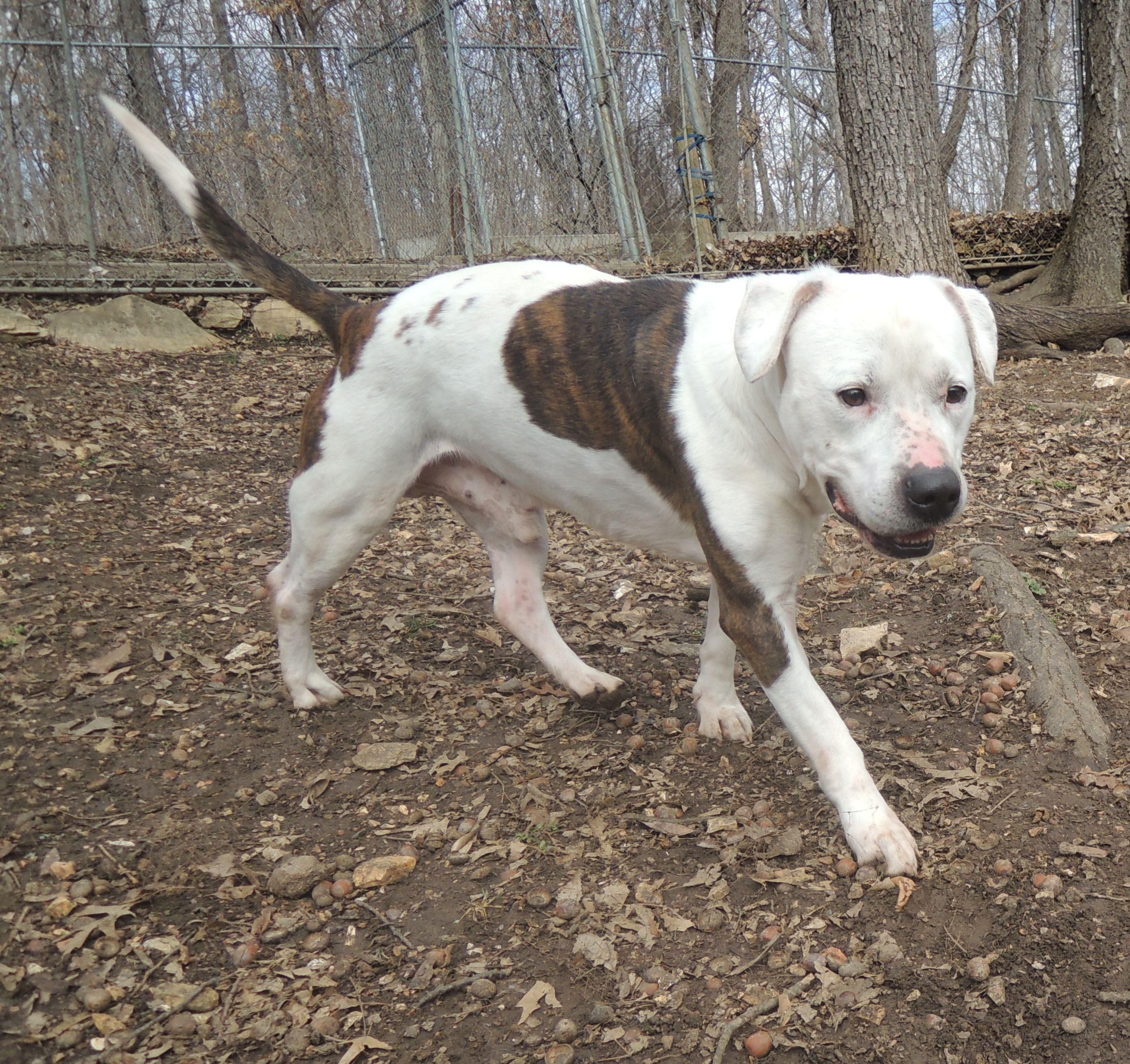 Adopt Old Man Spot on Pitbull terrier, Terrier mix dogs