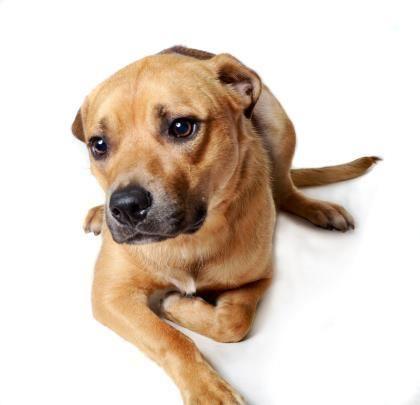 Adopt Denver On Dog Adoption Pet Adoption Save A Dog