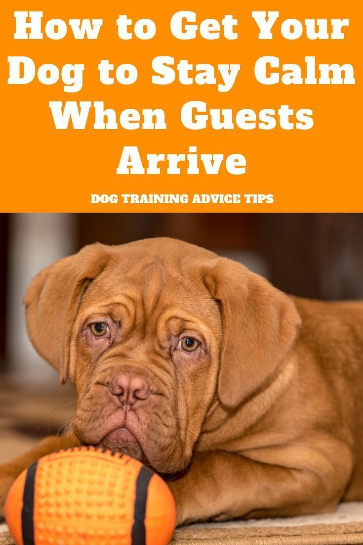 How to Get Your Dog to Stay Calm When Guests Arrive  How to Get Your Dog to Stay Calm When Guests Arrive
