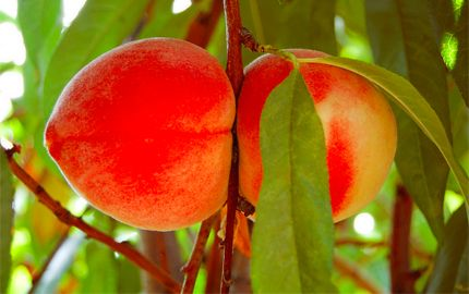 How to grow peaches and nectarines in containers.