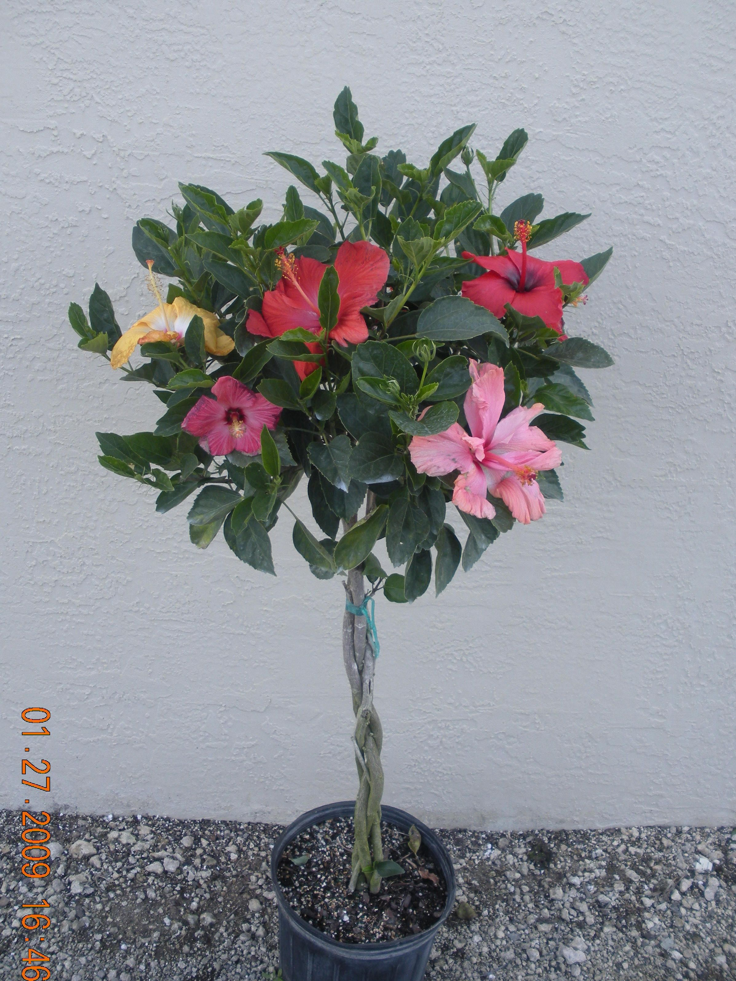 braided hibiscus tree -#main
