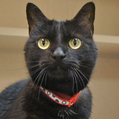 Adopted Sadie Is A 7 Year Old Spayed Female All Black Domestic Short Hair Cat Sadie Is A Love Bug Brought In When Her Owner Moved And Could Not Keep Her