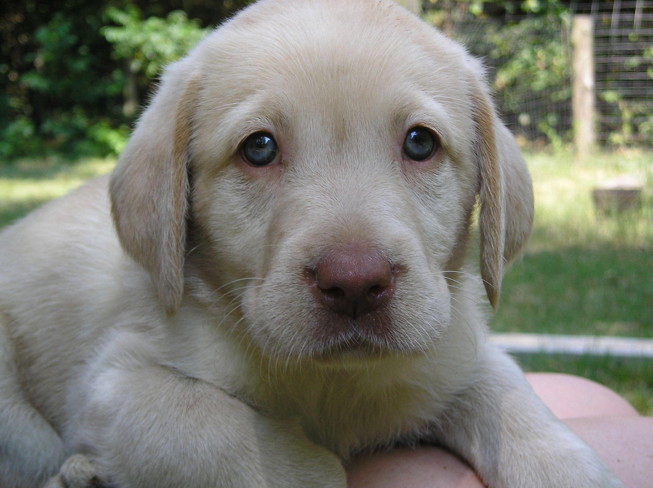 Dudley Lab Google Search Labrador Retriever Black Labrador Retriever Puppies With Blue Eyes