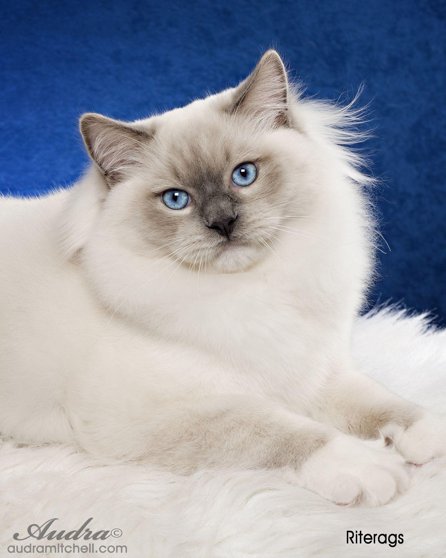 Ragdoll Cat Breeder Ragdoll Cats for Sale Riterag Ragdolls