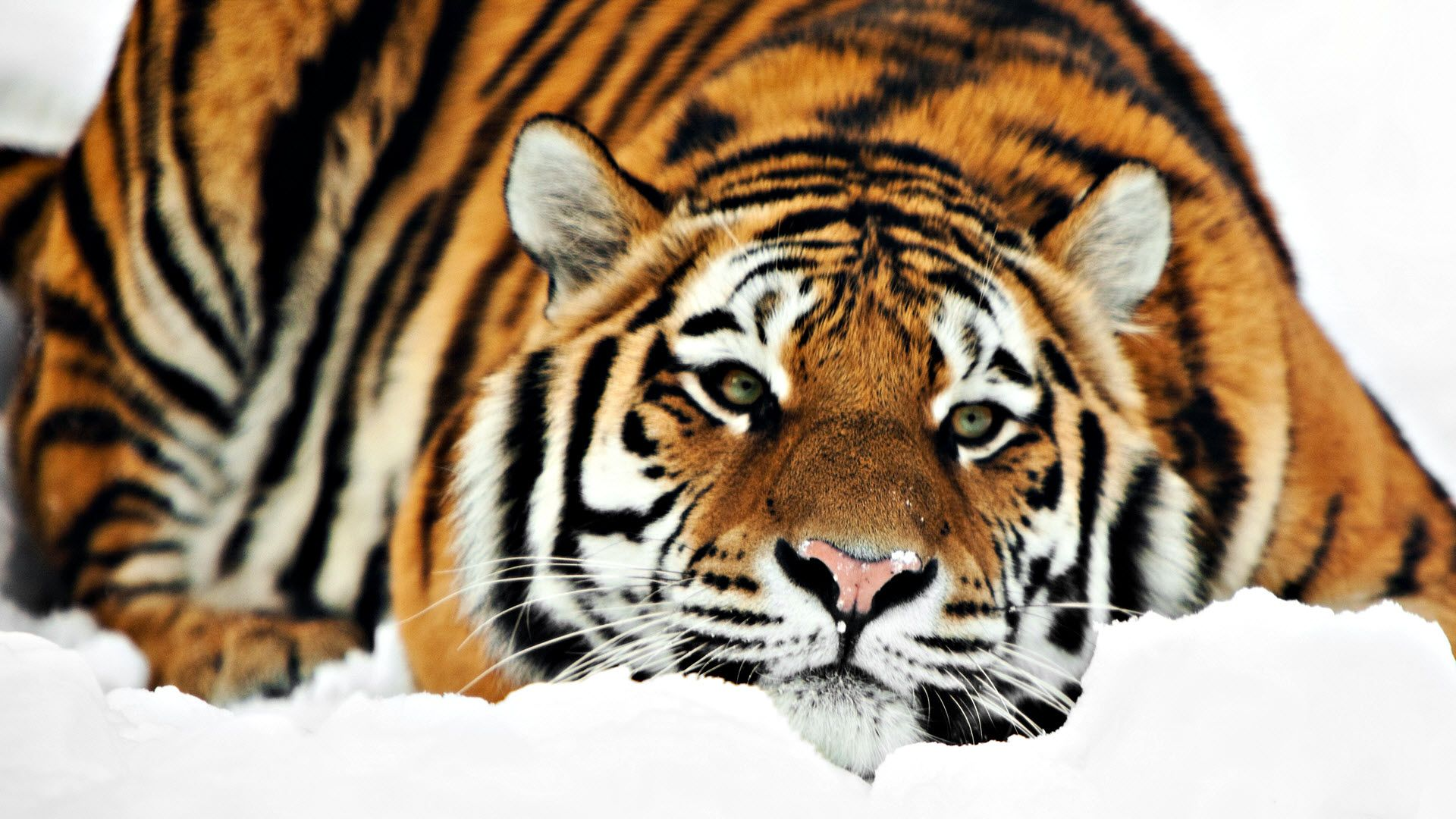 Tiger Hd 1080p Wallpapers Hd Wallpapers Tiger Pictures Pet Tiger Tiger Photography